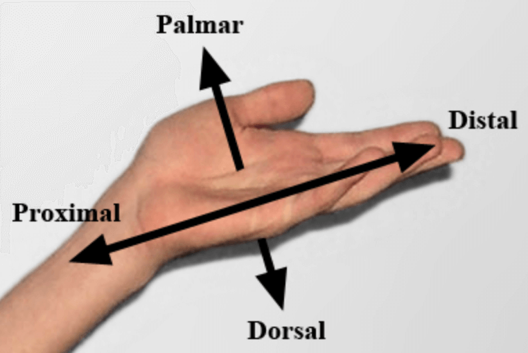 Proximal vs Distal; Palmar vs Dorsal
