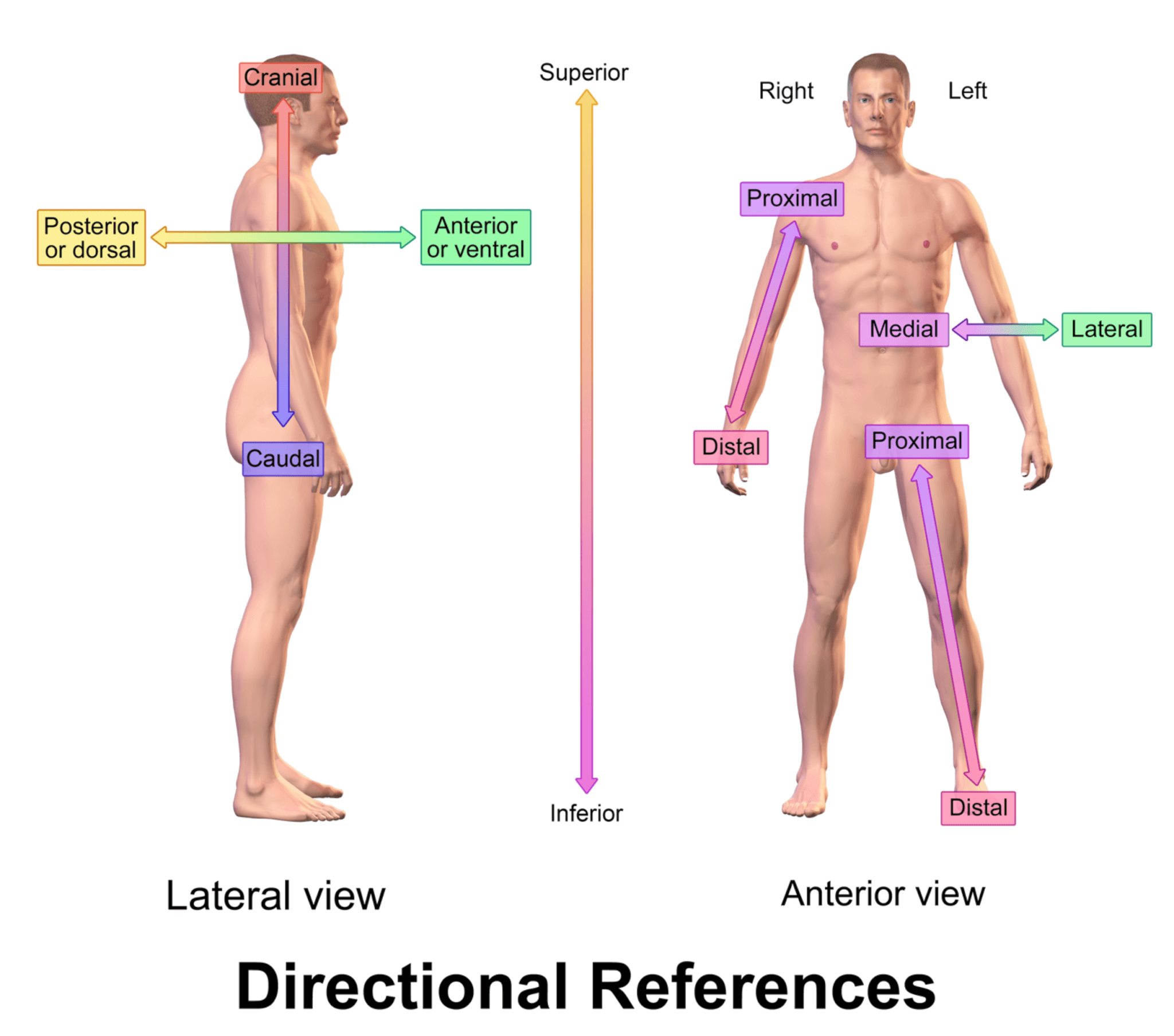 Anatomical Directional References